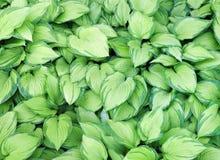 Сотни striped листьев желтого цвета и зеленого цвета Стоковая Фотография RF