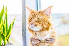 Сотрясенная связь бабочки кота нося и ждать его невесту, Wedding концепцию Стоковая Фотография