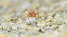 Сотрясенный муравей Стоковое Изображение RF