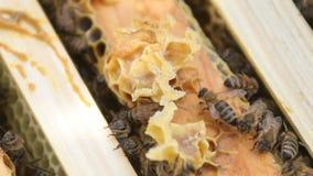 Соты строения пчел и нектар новообращенного в мед Крупный план пчел на соте в пасеке сток-видео