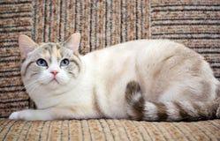 софа красивейшего кота лежа Стоковое фото RF