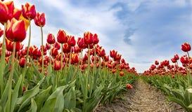 Сохраненный тюльпанов стоковое изображение rf