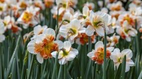 Сохраненный Daffodils стоковое изображение