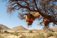 Социальное гнездо на дереве, Намибия птицы ткача Стоковое Фото