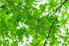 Сочная зеленая ветвь с молодыми листьями стоковое изображение rf