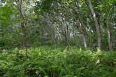 Сочная листва леса Jozani, Занзибара, Танзании Стоковая Фотография RF