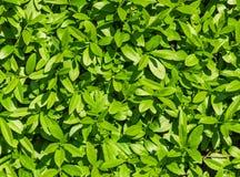 Сочная текстура листьев Стоковое Фото