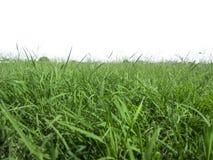 сочная трава на белой предпосылке одном стоковая фотография rf