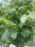 Сочное виноградин хрустящее yummy стоковое изображение