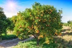 Сочное оранжевое дерево Стоковые Фотографии RF