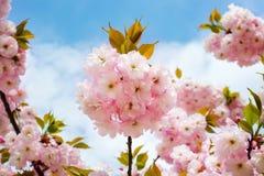 Сочное розовое цветорасположение вишневого дерева против голубого не стоковое фото rf