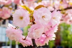 Сочное розовое цветорасположение дерева Сакуры на солнечный весенний стоковые изображения