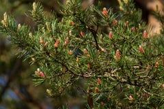 Сочные ветви мех-дерева с много молодыми конусами Природа стоковые изображения rf