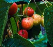 Сочные вишни на дереве Стоковое фото RF