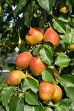 Сочные груши на дереве Стоковая Фотография