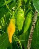 Сочные зеленые и желтые chilies зрея на лозе Стоковая Фотография RF