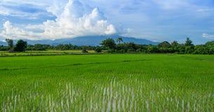 Сочные зеленые рисовые поля Стоковые Изображения RF
