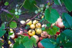 Сочные, зрелые виноградины вина на лозе готовой для сбора стоковое фото rf