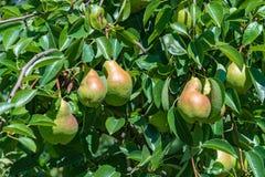 Сочные зрелые груши на дереве Стоковое Изображение