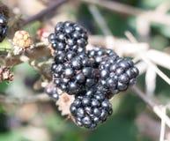 Сочные зрелые ежевики закрывают вверх по fruticosus рубуса плодоовощ Стоковое фото RF