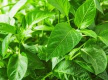 Сочные листья перца Стоковое фото RF
