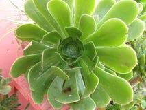сочные листья Стоковое Фото