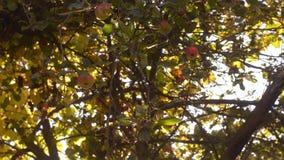 Сочные яблоки на ветви дерева в саде Яблоня в вечере акции видеоматериалы