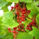 Сочные ягоды красной смородины на ветви с зелеными листьями Стоковая Фотография