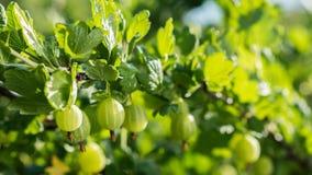 Сочные ягоды крыжовников зреют в солнце стоковые фото