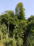Сочный бамбуковый лес в моем родном городе стоковое изображение rf