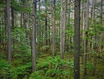 Сочный, зеленый канадский лес в лете Стоковое Фото