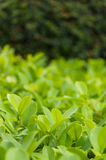 Сочный зеленый куст Стоковые Изображения