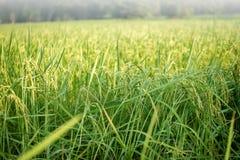 Сочный зеленый пади в поле риса Весна стоковые фотографии rf