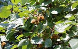 Сочный КИВИ плодоовощ на ветви в саде Стоковая Фотография RF