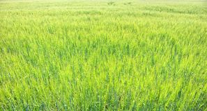 Сочный расти пшеничного поля стоковая фотография rf