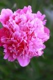 Сочный свежий розовый цветок пиона стоковые фото