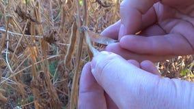 Соя близкая вверх в руках фермера сток-видео
