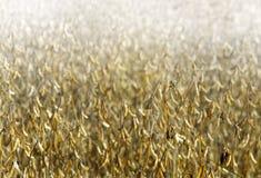 соя поля Стоковая Фотография RF