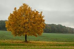Солитарное дерево, время осени Стоковые Изображения RF