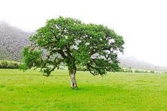 Солитарное дерево растя на луге Стоковое Изображение RF