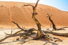 Солитарное и известное Deadvlei: сухие деревья в середине пустыни Namib Стоковые Изображения RF