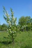 Солитарное яблоко yong зацветая Стоковое Изображение RF