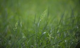 Солитарные колоски тонкой травы в зеленом цвете лужайки Стоковые Изображения