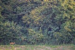 Солитарные олени косуль Стоковые Фото