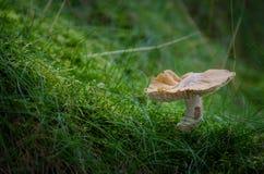 Солитарный гриб в мхе Стоковое Фото