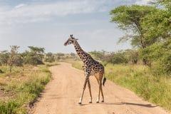 Солитарный жираф в национальном парке Amboseli, Кении Стоковые Изображения