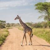 Солитарный жираф в национальном парке Amboseli, Кении Стоковое Изображение