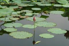 Солитарный лотос отразил в воде пруда окруженной путем плавать листья с падениями росы Стоковые Изображения RF