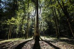 Солнечний свет через деревья Стоковые Фото