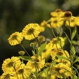 Солнечний свет через желтые цветки стоковое изображение rf